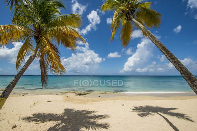 Palm trees on Sprat Hall Beach in Saint Croix, US Virgin Islands — стокове фото