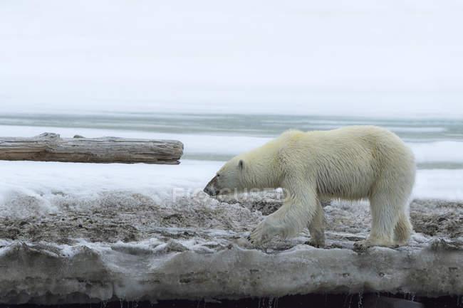 Polar bear walking on glacier in overcast weather in Bjornsundet, Spitsbergen, Norway, Europe — Stock Photo