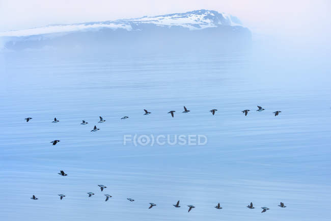 Flock of thick-billed murre flying over Hinlopen Strait, Norway, Europe — Stock Photo