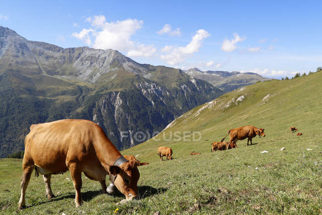 Tarine cows graze in the high pastures, Peisey Nancroix, Savoie, French Alps, France, Europe — Fotografia de Stock