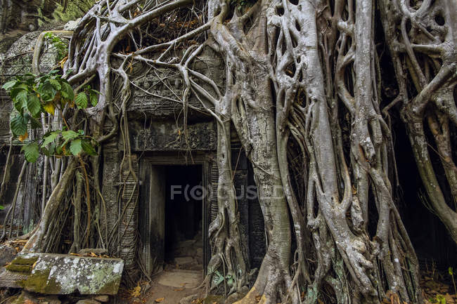 Roots of lithophyte strangler fig at 12th century temple complex Ta Prohm, a Tomb Raider film location, Angkor, UNESCO World Heritage Site, Siem Reap, Cambodia, Indochina, Southeast Asia, Asia — Foto stock