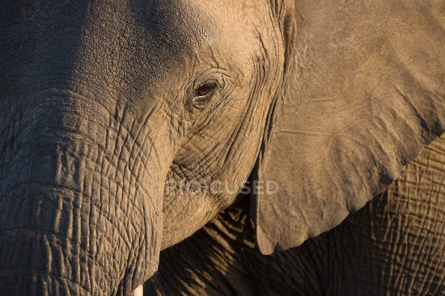 Close-up of baby African Elephant (Loxodonta africana), Kruger National Park, South-Africa, Africa — Stock Photo