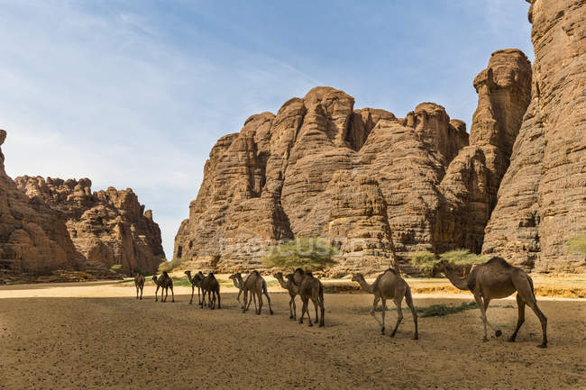 Camelus at a waterhole in a rock amphitheatre, Ennedi Plateau, UNESCO World Heritage Site, Ennedi region, Chad, Africa — стоковое фото