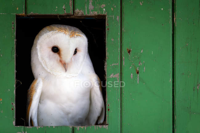Common barn owl (Tyto alba) sitting in barn door — Foto stock