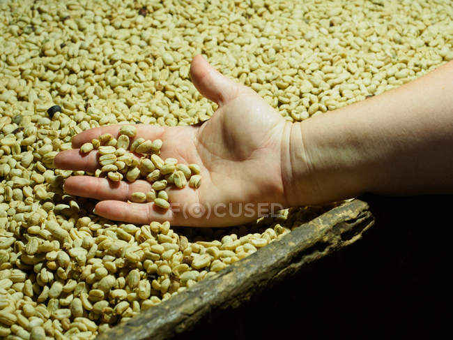 Hand with processed coffee beans in a drying oven near Manizales, Colombia, South America — стокове фото