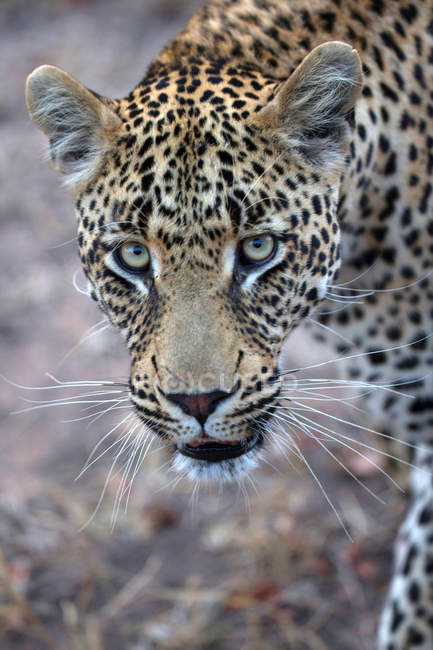 Leopardo Africano (Panthera pardus) en sabana, Parque Nacional Kruger, Sudáfrica, - foto de stock