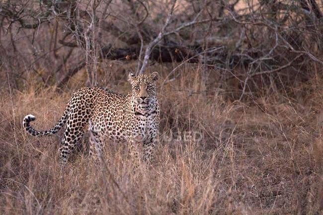 Африканский леопард (Panthera pardus) в Саванне, Национальный парк Крюгера, южная Африка, Африка — стоковое фото