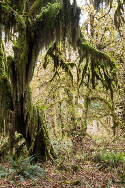 Зал мохів-тропічних лісів, олімпійський Національний парк, штат Вашингтон, Сполучені Штати Америки, Північна Америка — стокове фото