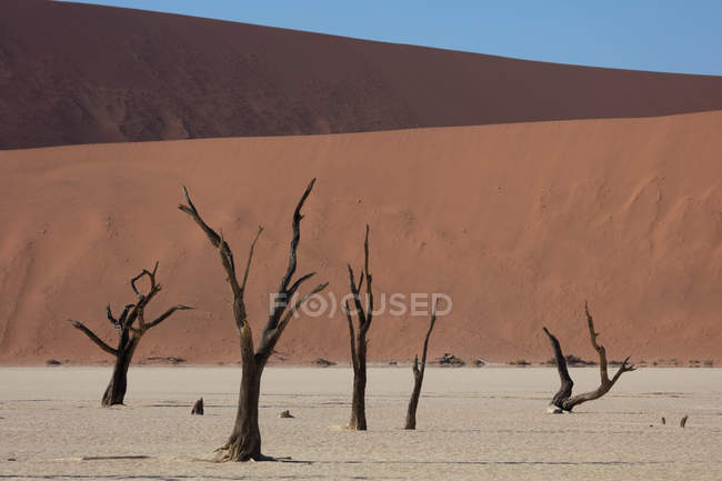 Old dead trees within Deadvlei, Sossusvlei, Namibia, Africa — стоковое фото