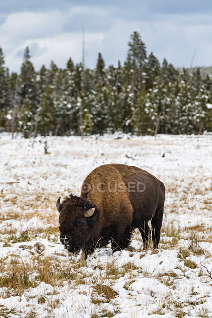 American Bison grazing in Yellowstone National Park, Wyoming, United States of America, North America — Photo de stock