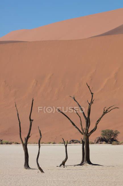 Старые мертвые деревья в Deadvlei, Sossusvlei, Намибия, Африка — стоковое фото