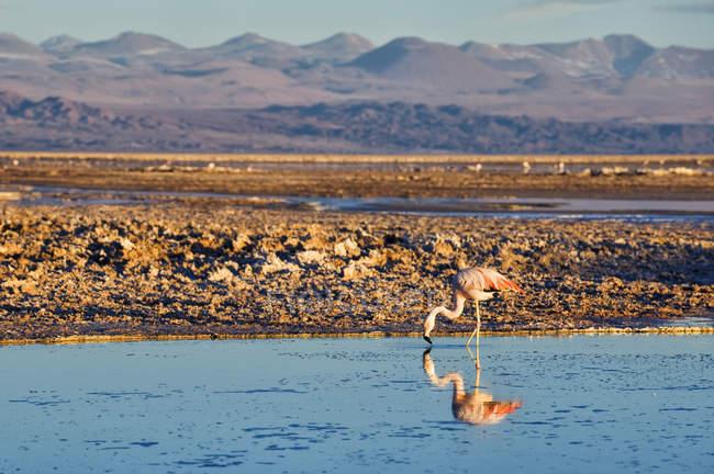 Фламінго стоїть на озері в Салар де Атакама, Чилі, Південна Америка — стокове фото
