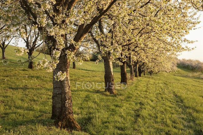 Blooming cherry trees on green meadow in spring — Stock Photo