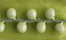Fresh green Peas in pod — Stock Photo