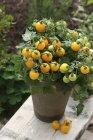 Yellow vine tomatoes in pot — Stock Photo