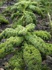 Grünkohl im Feld wachsen — Stockfoto