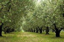 Oliveiras sobre grama verde ao ar livre — Fotografia de Stock