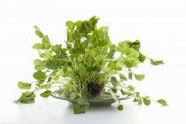 Fresh Organic Watercress — Stock Photo