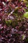 Lollo rosso crescimento ao ar livre durante o dia — Fotografia de Stock