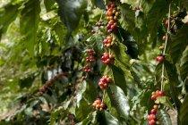 Денного зору кавових зерен на гілках завод — стокове фото
