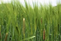 Closeup daytime view of green barley field — Stock Photo