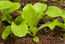 Blattsalat im Garten — Stockfoto