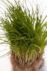 Fresh Chives with roots — Stock Photo
