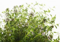 Fresh flowering Thyme — Stock Photo