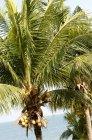 Пальмові дерева з кокосами — стокове фото