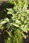 Salvia e rosmarino che cresce nel giardino — Foto stock