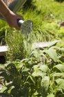 Beschnitten, tagsüber Blick auf Hand Bewässerung Kräuter mit Gießkanne — Stockfoto