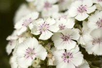 Vista de cerca de las flores blancas Sweet Williams - foto de stock