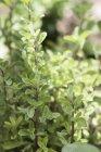 Maggiorana cresce nel giardino — Foto stock