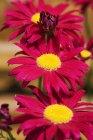 Nahaufnahme von roten Gerbera-Blumen — Stockfoto