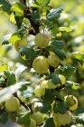 Uchuvas frescas con hojas verdes - foto de stock