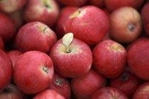 Mele rosse mature — Foto stock