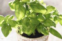 Basilic frais en pot de fleurs — Photo de stock
