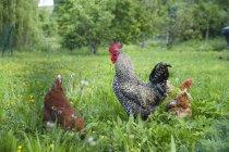 Vista diurna de gallo y dos gallinas en pasto - foto de stock