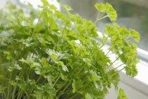 Planta de salsa pela janela — Fotografia de Stock