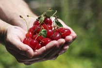 Hands holding sour cherries — Stock Photo