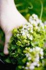 Maggiorana fiorita tenuta per mano — Foto stock