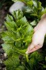 Recoger a mano hojas de apio al aire libre - foto de stock