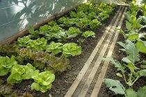 Lettuce plants and kohlrabi — Stock Photo