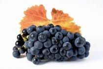Racimo de uva negra Solara - foto de stock