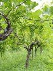 Vista diurna de uvas verdes cachos em videiras — Fotografia de Stock