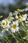 Closeup vista diurna de flores de camomila — Fotografia de Stock
