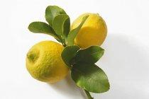 Zwei Zitronen auf Ast — Stockfoto