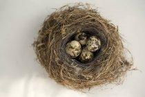 Huevos de codorniz en nido - foto de stock
