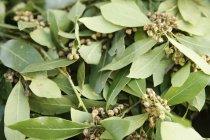 Branches de feuilles de Laurier — Photo de stock