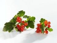 Ribes maturo fresco con foglie — Foto stock